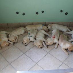 Cuccioli Labrador Marche