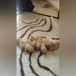 Cuccioli Labrador Puglia