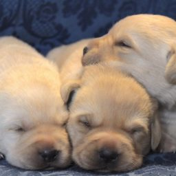 Cuccioli Labrador Emilia-Romagna