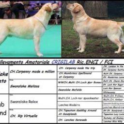 Cuccioli Labrador Lombardia
